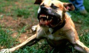 cane feroce