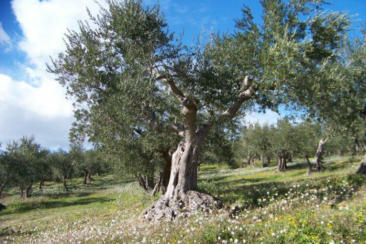albero_di_olivo