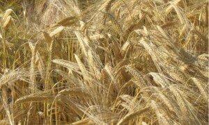 grano-biologico